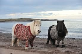Highland ponies wearing sweaters